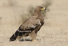 Steppe Eagle (Aravind Venkatraman) Tags: morning india bird birds nikon photographer eagle indian birding 300mm national raptor dslr aravind birdwatching f4 birder raptors birdsofprey steppe nationalgeographic steppeeagle aquila birdphotography aquilanipalensis 14tc nikondslr birdsindia indiabirds incredibleindia indianbirds birdphotographer dslrnikon nipalensis nikon300mmf4 avphotography nikon14tc d7000 nikond7000 talchappar d7000nikon aravindvenkatraman