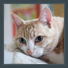 Stanley (No_Water) Tags: orange white cute cat ginger tiger stanley
