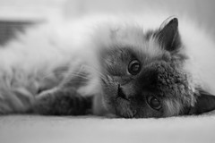 (JWphotos_) Tags: blue cat canon point photography 50mm eyes kitten feline ef himalayan