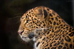 Portrait of a chinese leopard (Cloudtail the Snow Leopard) Tags: zoo karlsruhe tier animal säugetier mammal katze cat bigcat groskatze raubkatze panthera pardus leopard china chinese dschingis cloudtailthesnowleopard