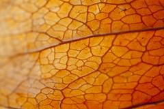 Sunlit Veins (Djenzen) Tags: orange sunlight canon jeroen vein sunlit jansen oranje zonlicht ader 40d djenzen
