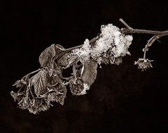 DeadOfWinterBW_S (zemlinphoto.com) Tags: winter bw snow macro nature nikon indianapolis assignment indiana raspberries topaz lightroom blackvelvet nikon105vr nikond300