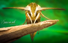 Hawk moth (Sameeran_Nath) Tags: brown india macro green nature canon leaf hawk moth f10 100mm sphingidae nath sameeran 430exii