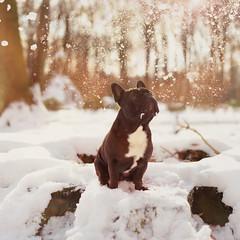 A winter brilliance (LunaG.) Tags: winter dog sun snow french bull kamiel