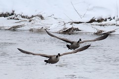 Canadian Geese (Branta canadensis) (DavidWells254) Tags: winter snow cold water minnesota river geese flight goose rochester silverlake snowing canadiangoose canadiangeese takeoff mn brantacanadensis rochestermn geeseinflight rochesterminnesota 600d canont3i