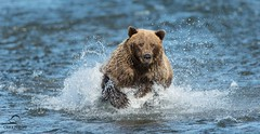 Brown Bear Runs Down a Salmon (Glatz Nature Photography) Tags: bear alaska fishing grizzly splash predator claws brownbear salmonrun ursusarctos grizzlybear cookinlet lakeclarknationalpark sacrednature coastalbrownbear fishingbear