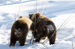 Bear arses