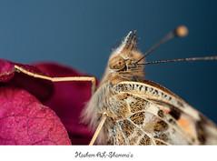 butterfly rest (Hashem j AL-Shamma'a) Tags: macro canon lens photo 5d kuwait q8  kuw kuwaitphoto 5dmarkii instakuwait iphoneq8 photographerq8 kuwphotographer iphonekuwait