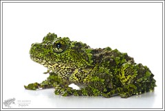Theloderma corticale (Thor Hakonsen) Tags: moss nikon frog camouflage orp thelodermacorticale vietnamesemossyfrog d3s sigmaex150mmf28hsmmacro