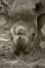 Black Rhinoceros (JAMES~DIGI~PICS) Tags: rhino rhinoceros blackrhino chesterzoo