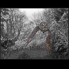 Winter Flight (JoPoBePo) Tags: winter flight greatgreyowl owls flickrstruereflection2 flickrstruereflection3 flickrstruereflection4 flickrstruereflection5 flickrstruereflection6 flickrstruereflection7