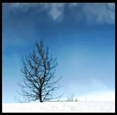 From Iceland. (Tta. 27.12.1964.) Tags: winter snow tree nature iceland sland blinkagain rememberthatmomentlevel1