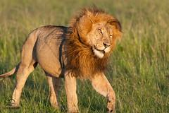 Shaking off the Flies (Glatz Nature Photography) Tags: morninglight kenya wildlife lion predator bigcats bigfive masaimara pantheraleo flickrbigcats photocontesttnc13