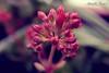 Una timida primavera (Antonella Porro) Tags: flowers flower foglie rosa natura foglia fiori fiore timida fuxia primavere