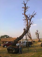 ต้นพะยอม7