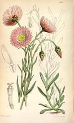 n136_w1150 (BioDivLibrary) Tags: botany periodicals pictorialworks missouribotanicalgardenpeterhravenlibrary bhl:page=467672 dc:identifier=httpbiodiversitylibraryorgpage467672 flowers artist:name=walterhoodfitch artist:viaf=12458289 taxonomy:binomial=acrocliniumroseum taxonomy:binomial=rhodanthechlorocephala taxonomy:common=rosecolouredacroclinium taxonomy:common=pinkpaperdaisy daisies australia