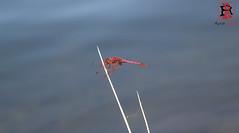 03238-17 de julio de 2016 (Tres-R) Tags: spain espaa galicia pontevedra riasbaixas liblula dragonfly tresr rodolforamallo sonyrx10 animals animales airelibre insect insectos