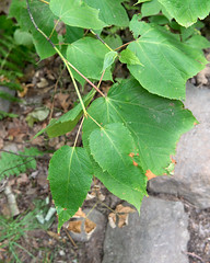 Acer spicatum (Mountain Maple) (Plant Image Library) Tags: wachusettmountainstatereservation massachusetts newengland dcr summer july oldgrowthforest landscape ecology nature trees plants acerpensylvanicum stripedmaple juvenilefoliage sapindaceae acer spicatum mountain maple
