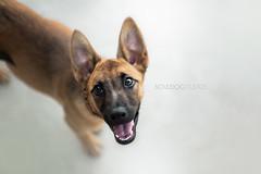 Arya! (Dynamutt) Tags: dog pet animal puppy mix shepherd german