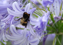 Bumble bee on agapanthus (chericbaker) Tags: bee bumblebee agapanthus