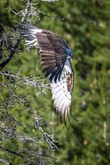 Osprey (HubbleColor {Zolt}) Tags: bird travel yellowstonenationalpark osprey wy wyoming unitedstates us