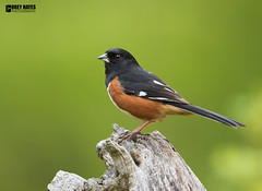 Eastern-Towee (Corey Hayes) Tags: sparrow ohio forest lakehope wild nature songbird large posed colorful natureontario coreyhayes green log