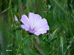 Flor silvestre (verridrio) Tags: green flower fleur natura nature sony flora floral silvestre campo rural verde vert blume fiore   iek    doa  natur naturaleza aus der fun beauty 1400