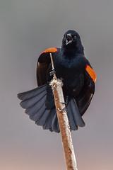 Red-winged Blackbird (ttl-jw) Tags: tamron150600mm tamron redwingedblackbird greatmedowsnwr bird nationalwildliferefuge greatmeadows concord nikond750 lightroom nikon