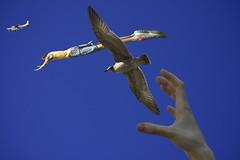 Wierd and Wonderful (swong95765) Tags: plane hand guy gull seagull bird animal sky fly leap reach wierd