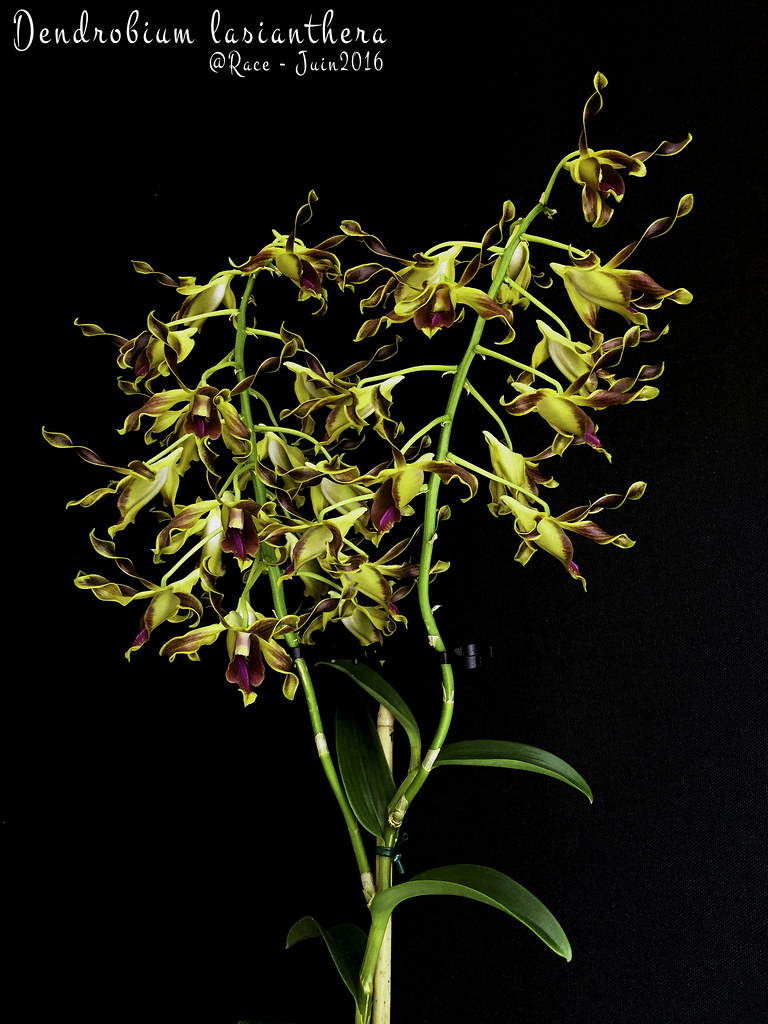 the world 39 s best photos of dendrobium and lasianthera flickr hive mind. Black Bedroom Furniture Sets. Home Design Ideas