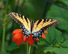 AFC_5005_8x10 (thorntm) Tags: mexicansunflower yellowtigerswallowtail butterfly t16081701 mdtpix nikond800 thebestofday gnneniyisi soe macro autofocus flickrestrellas greatphotographers spiritofphotography contactgroups flickrunitedaward