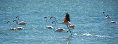 Flamingos. (Azariel01) Tags: 2016 espagne espaa spain alicante torrevieja salines salinas saltmarshes maraissalant flamant flamingo bird oiseau vol flight ripples ondulations lagunasaladadelamata