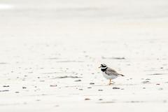 Charadrius hiaticula (moritz k.) Tags: bird helgoland orte beach charadriushiaticula plover ringedplover