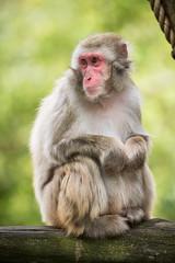 2016-08-04-15h15m35.BL7R7087 (A.J. Haverkamp) Tags: canonef100400mmf4556lisiiusmlens amsterdam zoo dierentuin httpwwwartisnl artis thenetherlands japansemakaak japanesemacaque