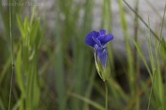 "Fringed Gentian • <a style=""font-size:0.8em;"" href=""http://www.flickr.com/photos/63501323@N07/28794561006/"" target=""_blank"">View on Flickr</a>"