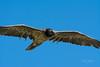Jeune gypaète barbu (Hubert Chiapusso) Tags: oiseau aussois animalsauvage rapace gypaètebarbu