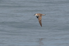 Great-shearwater1 (lnrwildphoto) Tags: bird shearwater great scilly pelagic seabird nikon 300mm f28 sigma