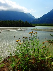 Fraser and Tansies (Chancelrie) Tags: wildflower tansy river outdoor