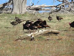 Wild Turkeys (ronking1) Tags: anzaborregodesertstatepark birds cuyamacastatepark places wildturkeys julian california unitedstates