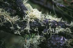 beard lichen on tree (heartinhawaii) Tags: lichen beardlichen usneahirta lichenontree colorado spring corwinapark rockymountains nature wildlife stilllife nikond3300