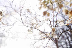 High Key Hydrangeas (dilys_thompson) Tags: ngc hydrangea nature high key pretty skeletal flowers nationaltrust dunhammassey