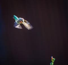 Forgot One. (Omygodtom) Tags: abstract colorful color wild wildlife animalplanet outdoors anashummingbird natural nature nikon d7100 nikon70300mmvrlens