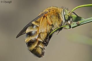 Wild bee sleeping, Anthophora sp.