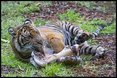 Suka Enjoying a Snack (KRIV Photos) Tags: sandiego sandiegozoo tiger sumatrantiger