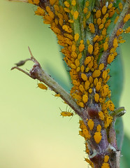 more aphids (foxtail_1) Tags: hahnhorticulturegarden hahngardens hahngarden aphids oleanderaphids aphisnerii butterflyweed asclepiastuberosa