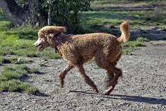 2725 (Jean Arf) Tags: ellison park dogpark rochester ny newyork september autumn fall 2016 poodle dog standardpoodle gladys run play motion