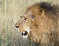 Lion with Scar (Kitty Kono) Tags: lion scar masaimara kittyrileykono kenya