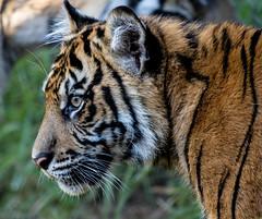 Nelson (ToddLahman) Tags: nelson teddy joanne sumatrantiger babysumatrantiger tigers tiger tigertrail tigercub canon7dmkii canon canon100400 closeup escondido sandiegozoosafaripark safaripark