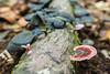 Kuching (Sarawak), Borneo (DitchTheMap) Tags: borneo fall food kuching macro nature outdoors seasia sarawak split asia autumn beautiful biology black closeup east environment exterior flickr forest fungi fungus gill green ground group growing growth leaf malaysia many mushroom national natural pink plant rain season small tree tropical view wet white wild wilderness