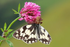 Marbled White captured by spider 270616 (4) (Richard Collier - Wildlife and Travel Photography) Tags: wildlife naturalhistory macro butterflies insects british marbledwhite captured spider clover